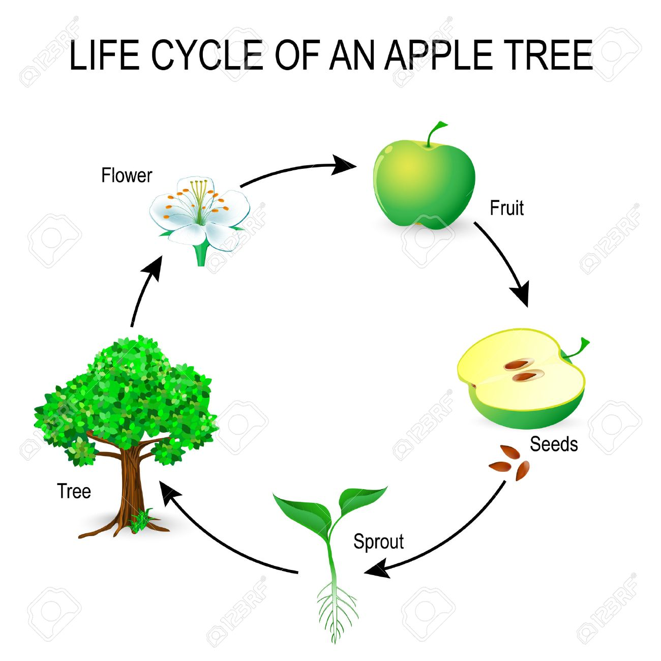 Life Cycle Of An Apple Tree Flower Seeds Fruit Sprout Seed Royalty Free Cliparts Vectors And Stock Illustration Image 75006885