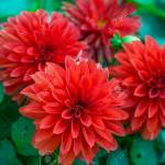Beautiful Red Dahlia Flowers Macro Photography Stock Photo Picture And Royalty Free Image Image 115178312