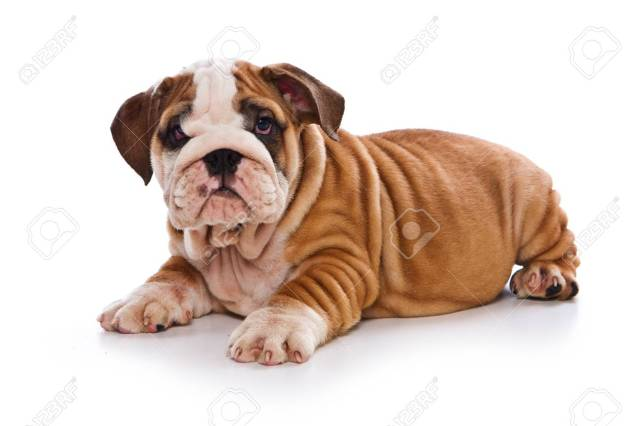 cute english bulldog puppy (isolated on white)