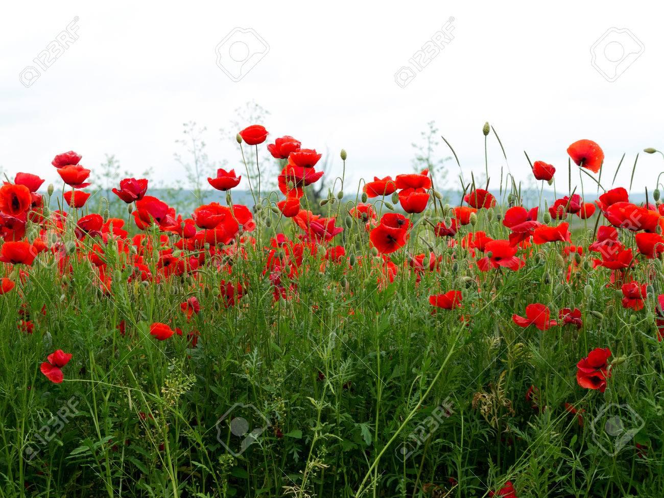 Rote Mohnblumen Auf Einem Feld In Einem Sommer Sonnigen Tag In