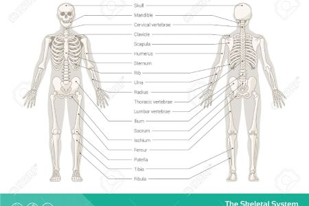 Images of human skeleton full hd maps locations another world the human skeletal system youtube human skeleton images stock photos vectors shutterstock human skeleton from the posterior and anterior view didactic board ccuart Image collections