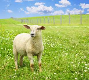 Image result for green meadow with sheep