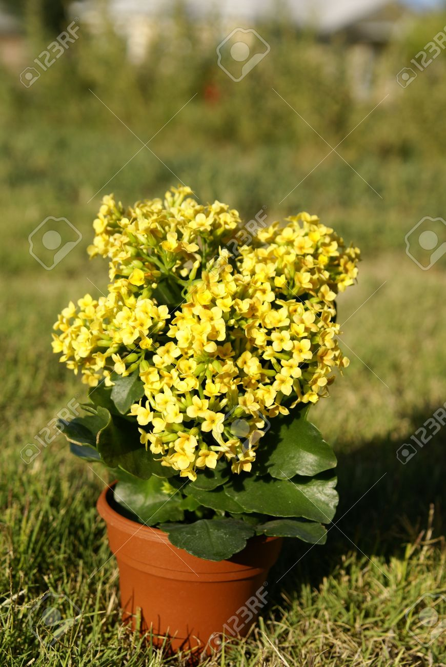 Succulent Tropical Kalanchoe Plant With Yellow Flowers In A Pot     Stock Photo   Succulent tropical Kalanchoe plant with yellow flowers in a  pot