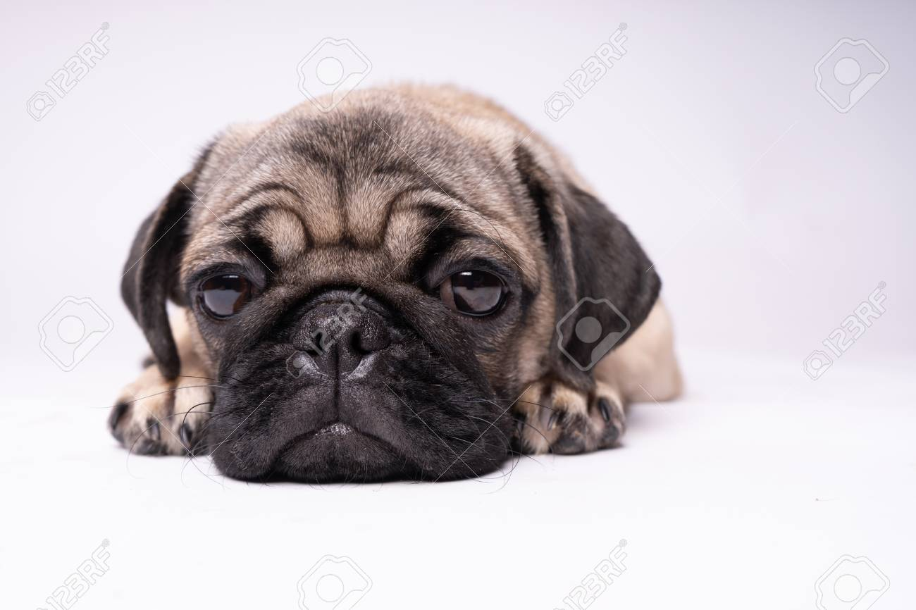 Pug Dog On White Background Cute Friendly Fat Chubby Pug Puppy Stock Photo Picture And Royalty Free Image Image 109250727