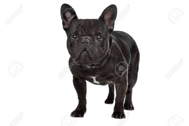 dark brown french bulldog standing in front of a white background