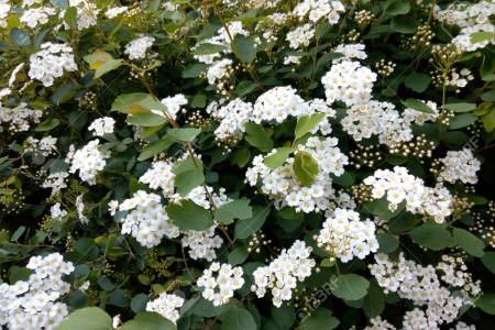 Flowers online 2018 shrub with tiny white flowers flowers online shrub with tiny white flowers these flowers are very beautiful here we offer a collection of beautiful cute charming funny and unique flower images mightylinksfo