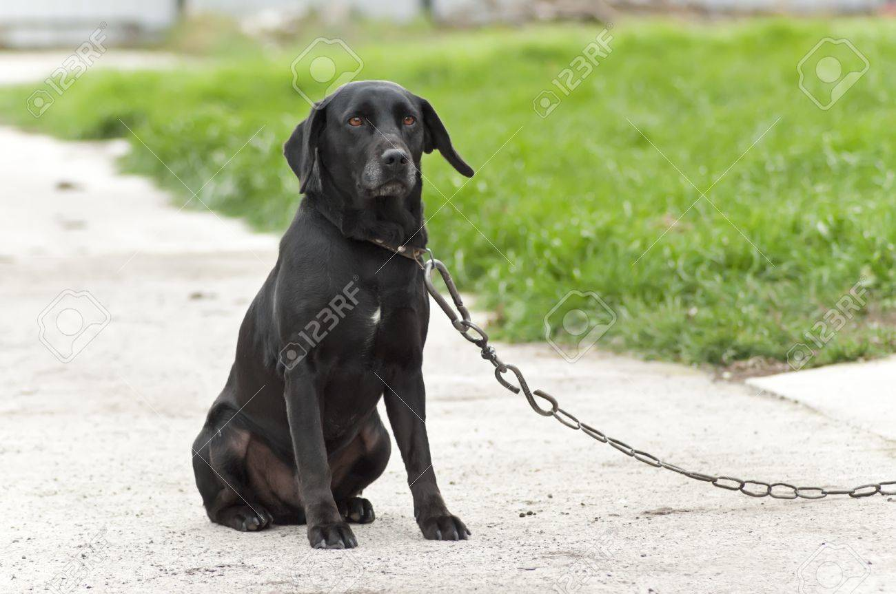 black dog on a chain sadly look at the master stock photo, picture