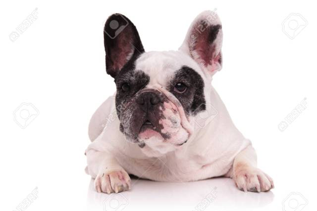 black and white french bulldog looks away while lying down on..