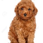 Red Toy Poodle Puppy Sits On A White Background Stock Photo Picture And Royalty Free Image Image 23734286
