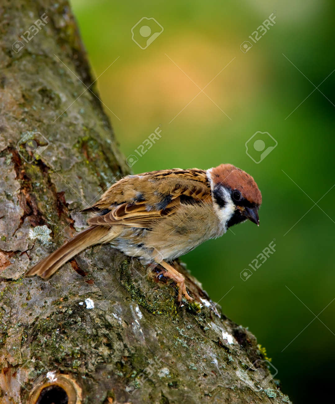Beautiful Sparrow Late Afternoon Before Sunset Stock Photo Picture And Royalty Free Image Image 7422856