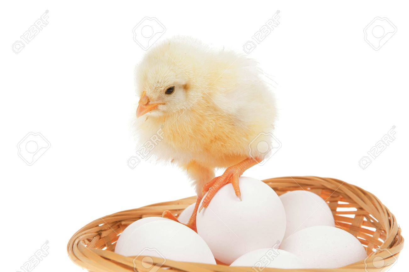 """Résultat de recherche d'images pour """"poulet vivant"""""""
