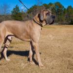 Brown Great Dane Purebred Dog Striking A Pose On The Grass Stock Photo Picture And Royalty Free Image Image 92614195