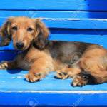 Longhair Dachshund Puppy On Weathered Blue Also Available In Stock Photo Picture And Royalty Free Image Image 27924914