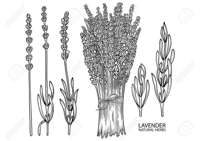 Graphic Collection Of Lavender Leaves And Flowers. Vector