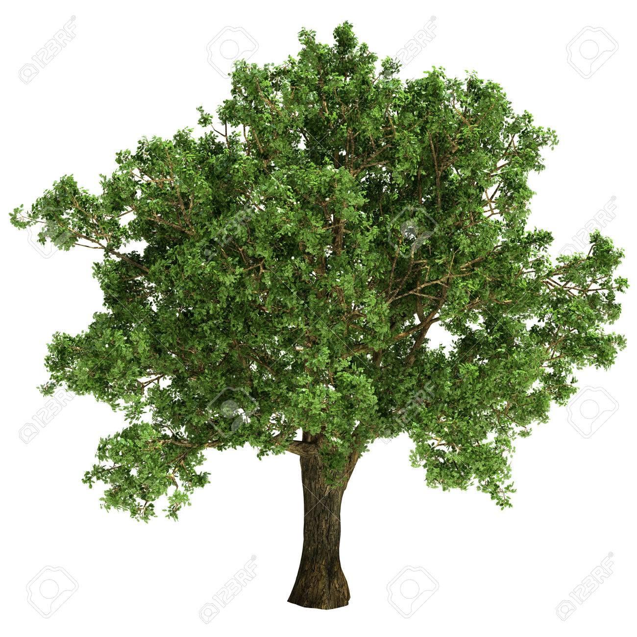petit arbre de chene isole sur fond blanc banque d images et photos libres de droits image 22690044
