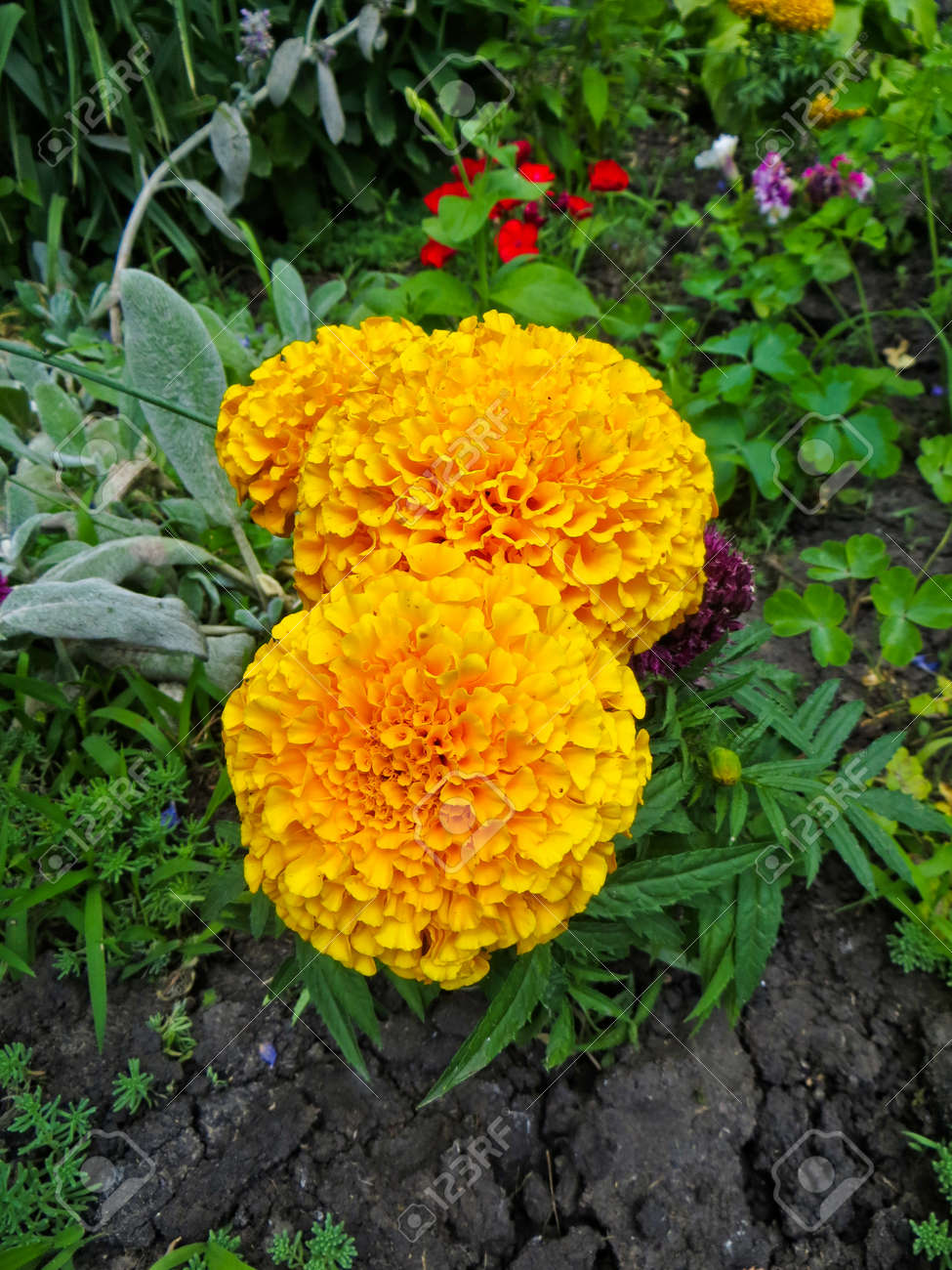 Marigold Flowers  Mexican Marigold  Aztec Marigold  On Flowerbed     Marigold flowers  Mexican marigold  Aztec marigold  on flowerbed Stock  Photo   63337279