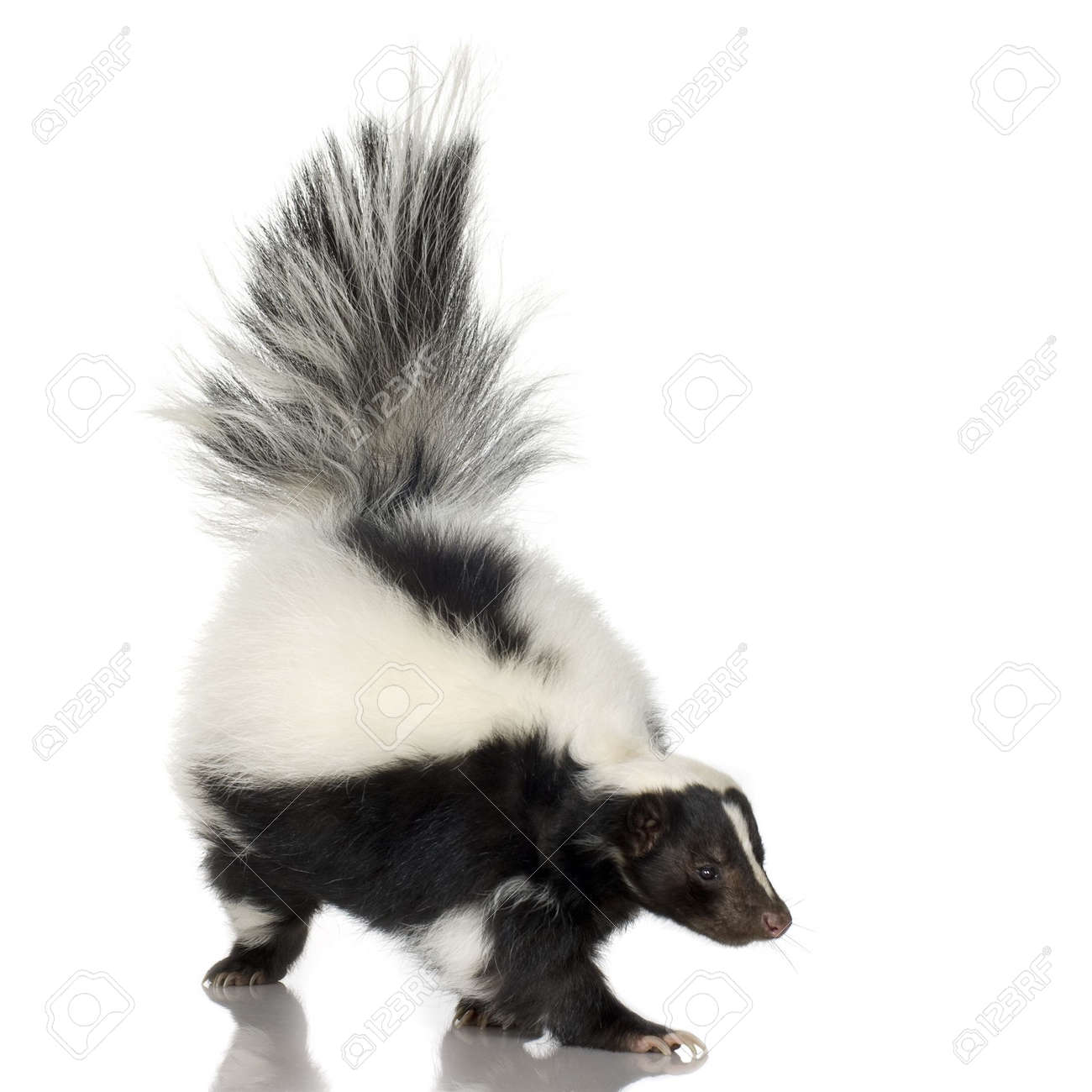 Image result for stock picture of skunk