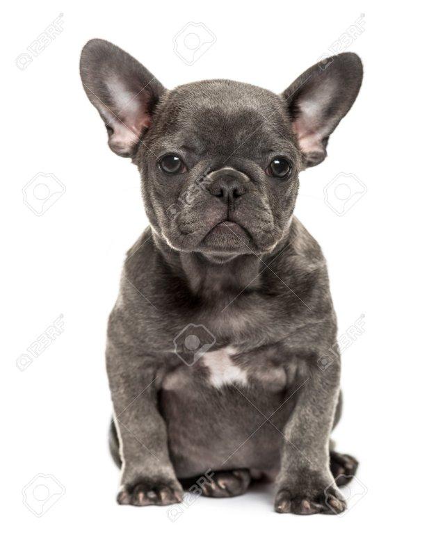 grey french bulldog puppy sitting, isolated on white