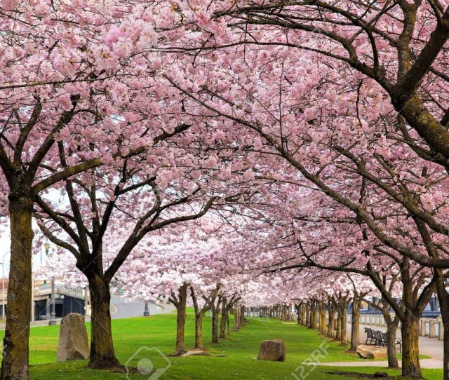Rows Of Japanese Cherry Blossom Trees In Bloom At Portland Oregon Downtown Waterfront Park In Spring