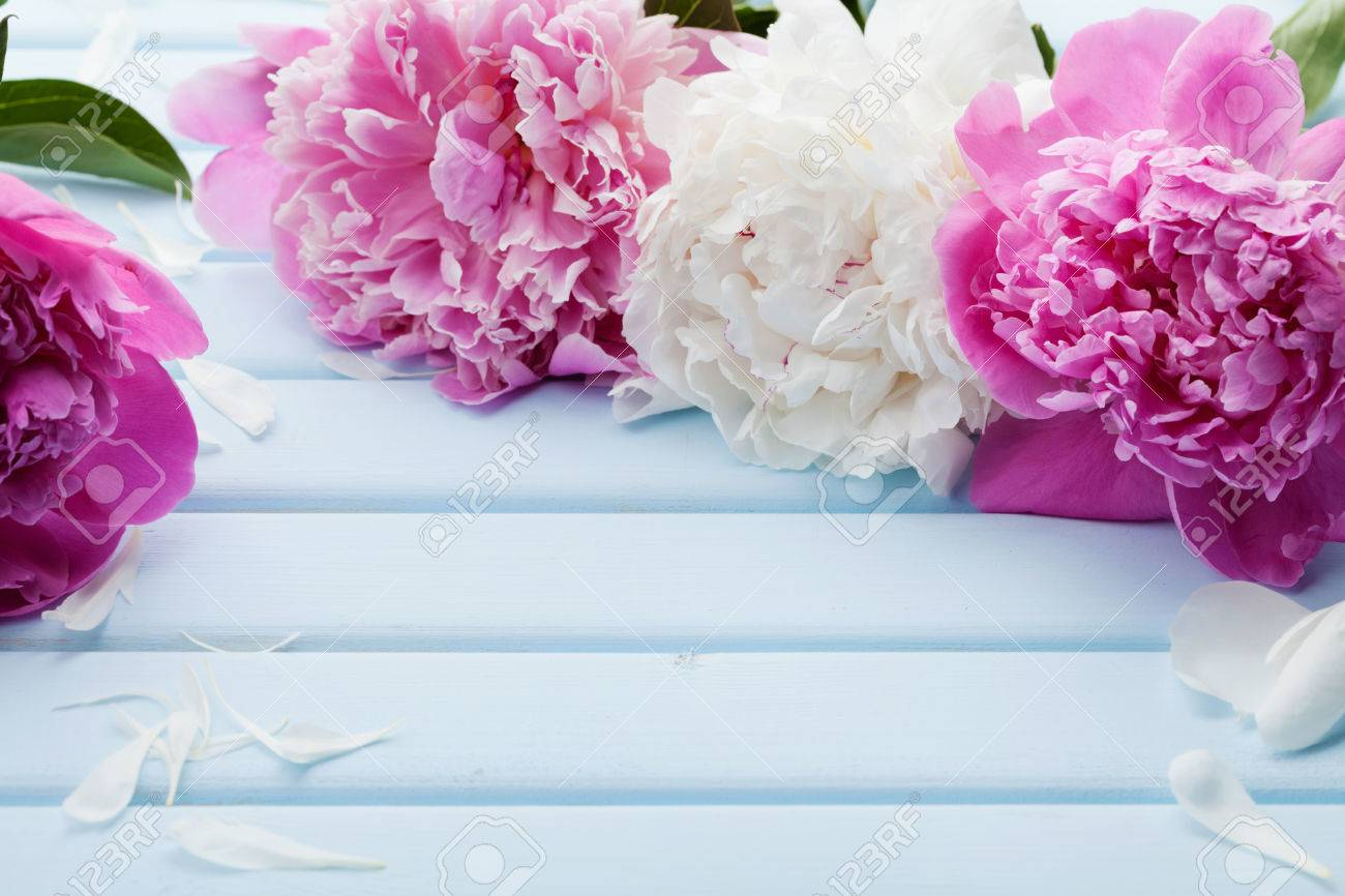 Beautiful Pink And White Peony Flowers On Blue Vintage Background     Beautiful pink and white peony flowers on blue vintage background with copy  space for your text