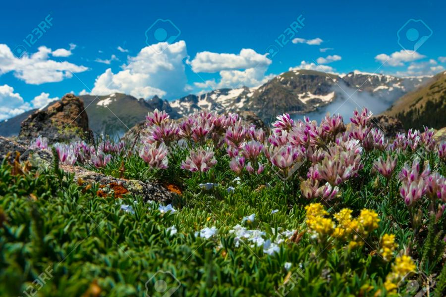 Wild Flowers Mountain Range Of The Colorado Rockies Stock Photo     Stock Photo   Wild Flowers Mountain Range of the Colorado Rockies