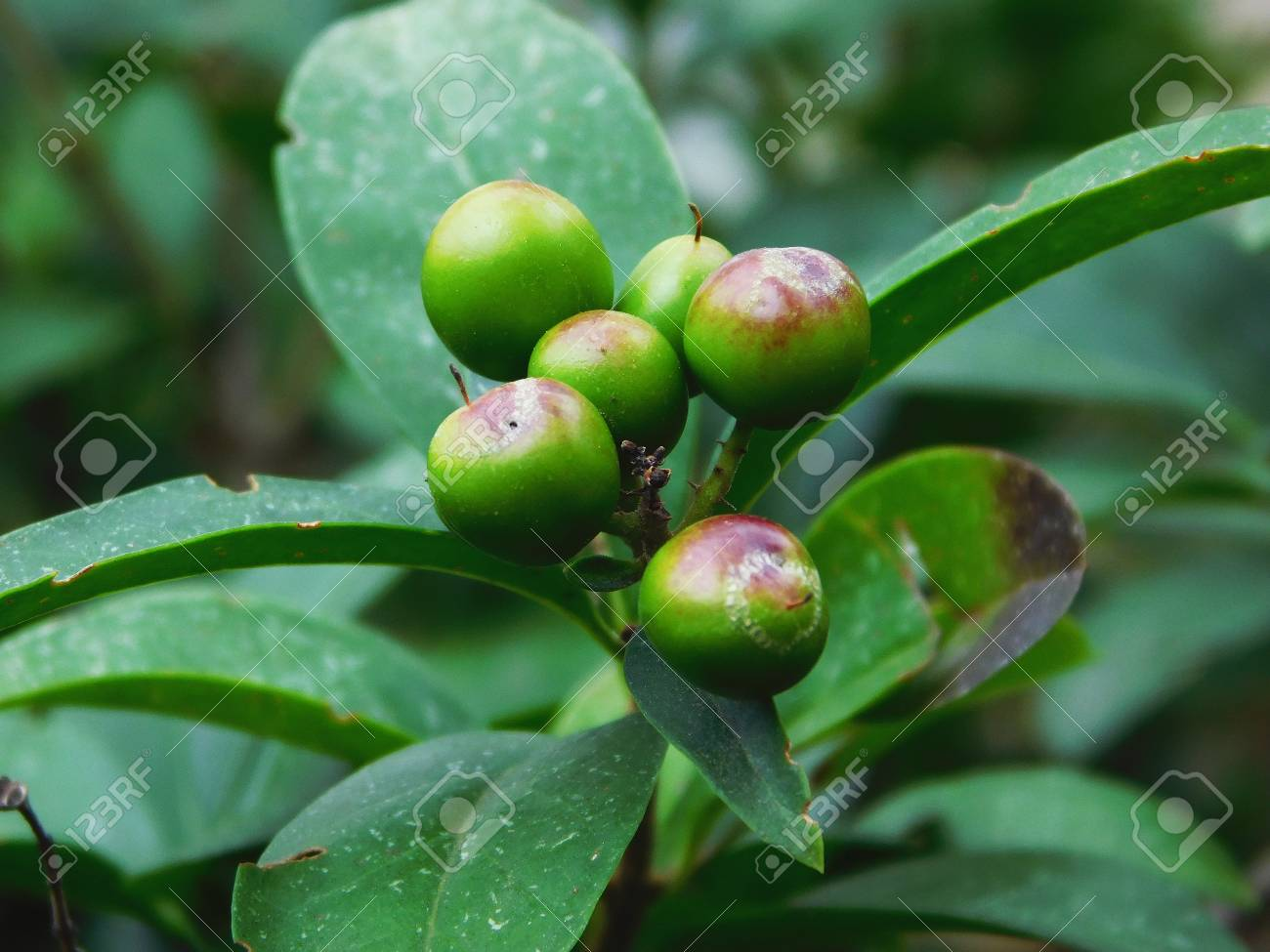 A Bunch Of Bay Laurel Tree Fruits Stock Photo Picture And Royalty Free Image Image 92656378