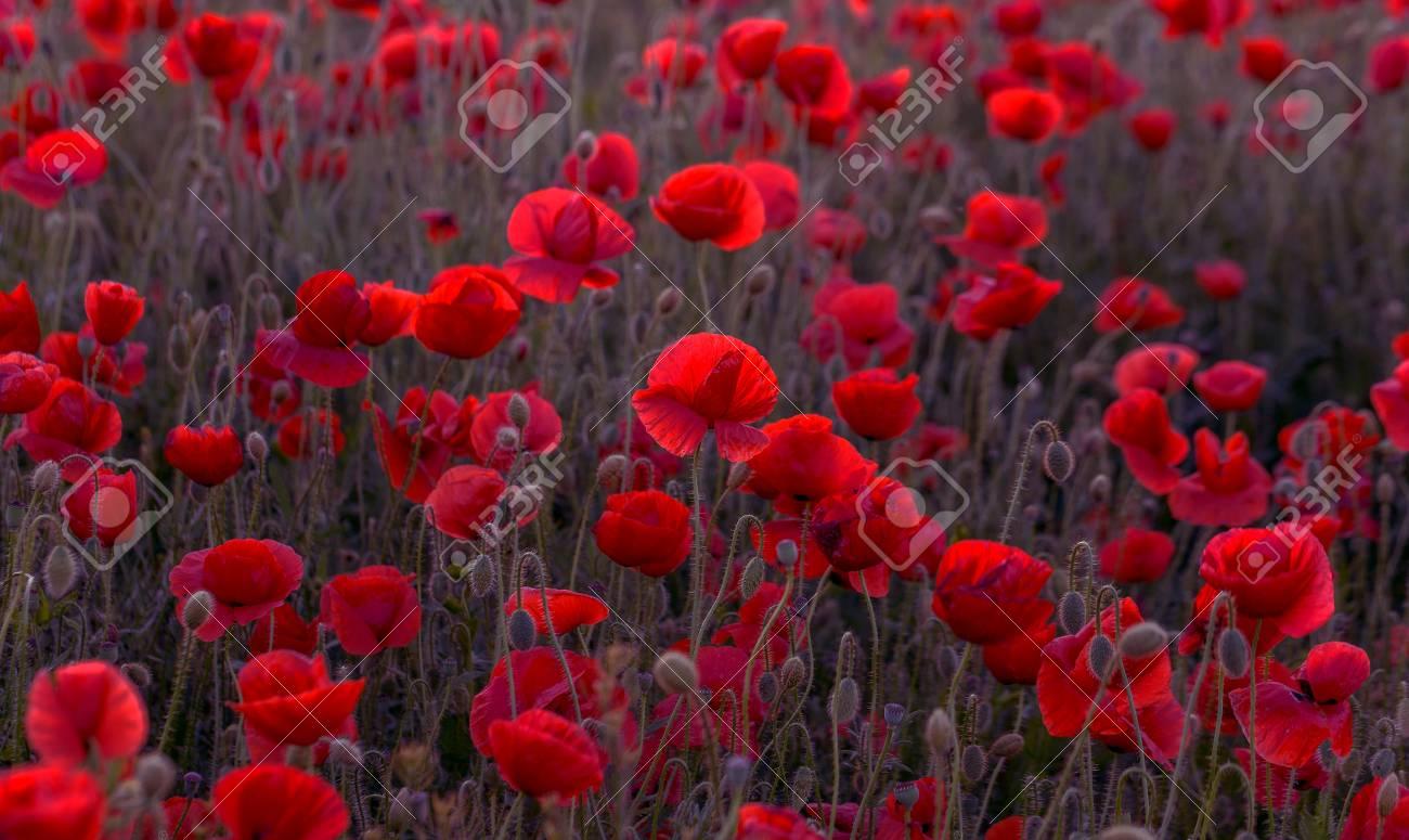 Rote Mohnblumen Im Wind Blumen Kostenloses Foto Auf Pixabay