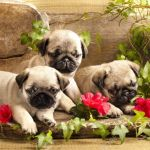 Pug Puppies And Flowers In Retro Backgraun Stock Photo Picture And Royalty Free Image Image 19089092