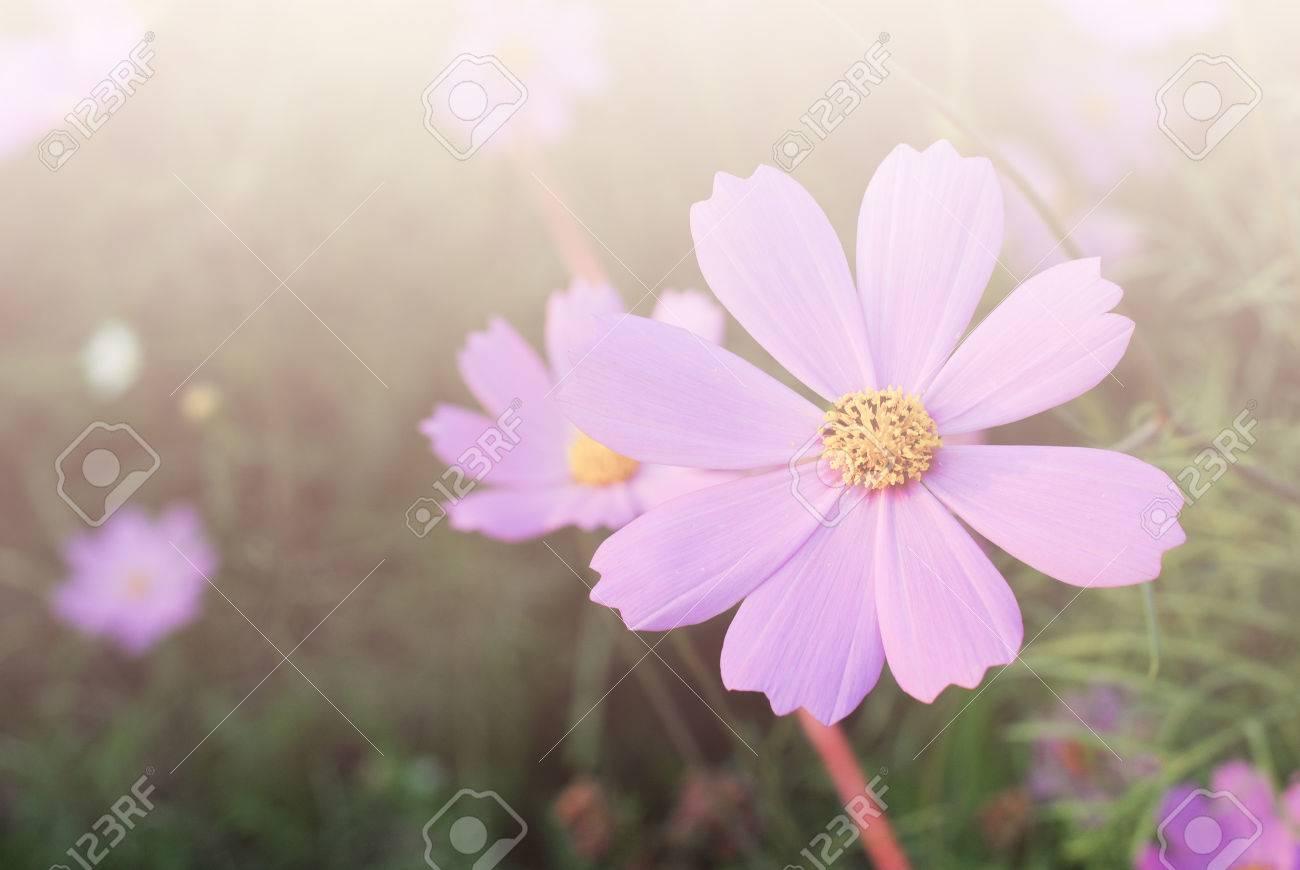 fleurs de cosmos fond d ecran de fond vintage