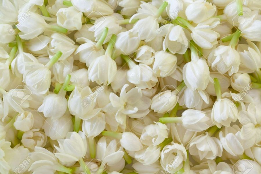 Image Of Fresh Jasmine Flower Background Stock Photo  Picture And     Image of Fresh Jasmine Flower Background Stock Photo   11018077