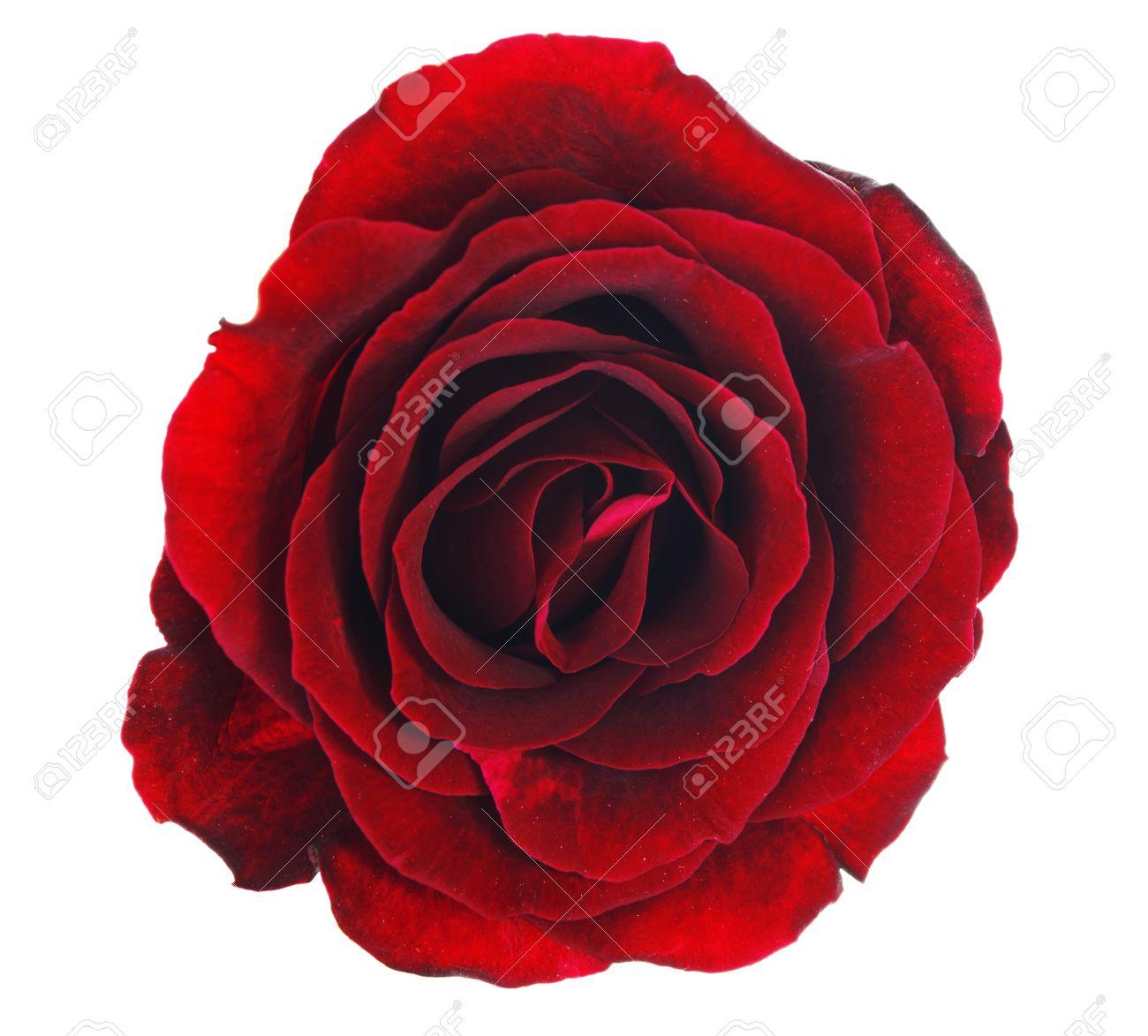 belle rose rouge fleur sans feuilles isolees sur fond blanc avec chemin de detourage