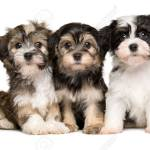 Three Cute Bichon Havanese Puppies Are Sitting Next To Each Other Stock Photo Picture And Royalty Free Image Image 50088718