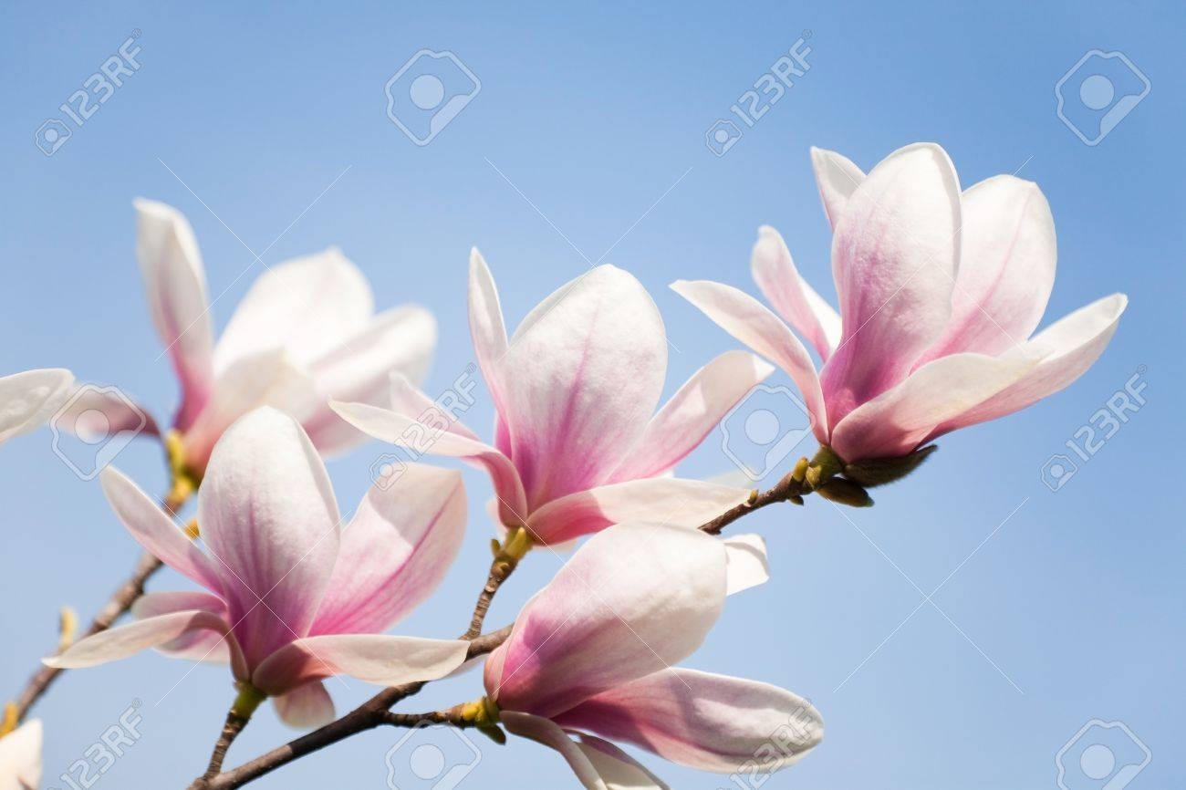 Purple Magnolia Flowers On Clear Sky Stock Photo  Picture And     purple magnolia flowers on clear sky Stock Photo   13146708