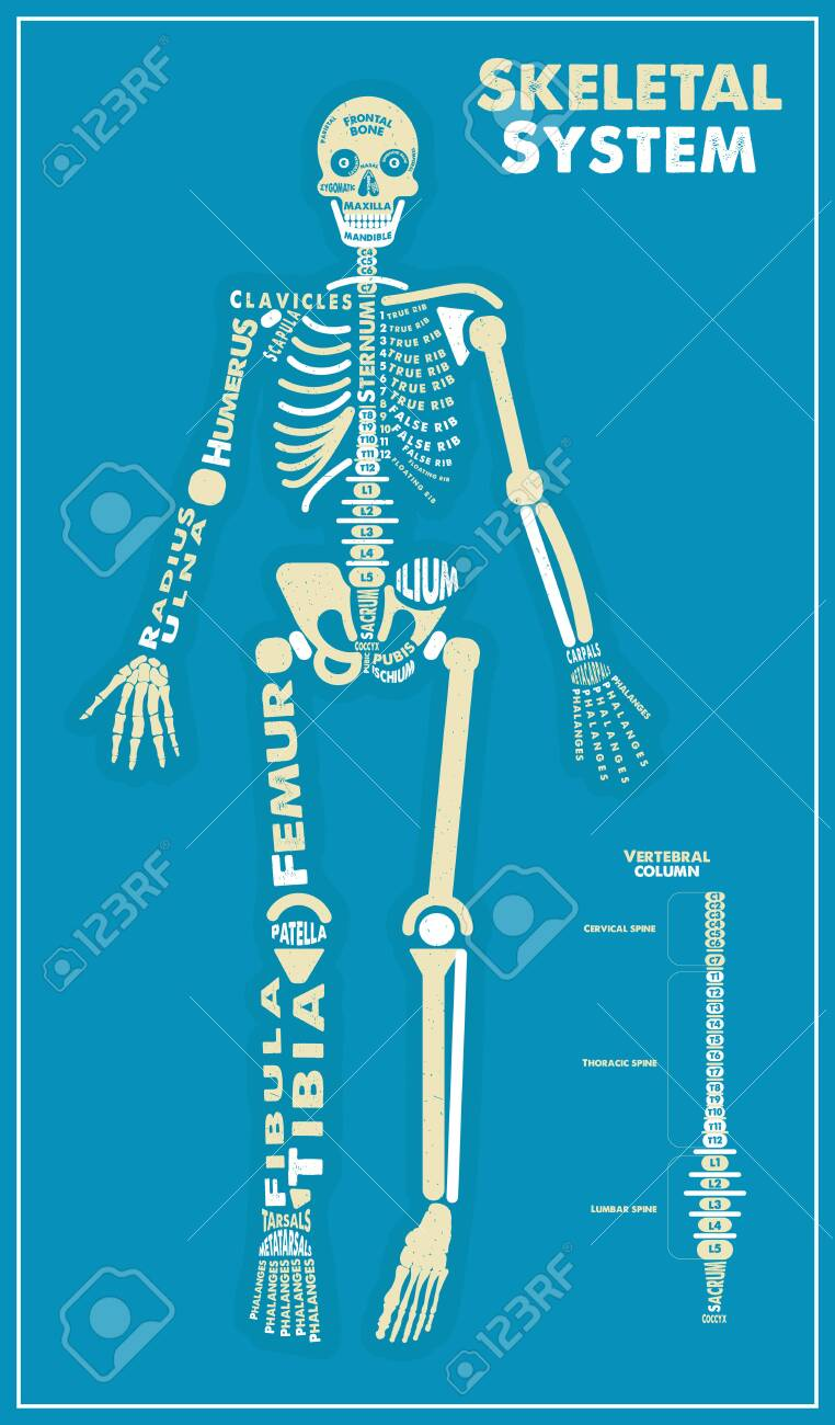 skeletal system poster vector illustration