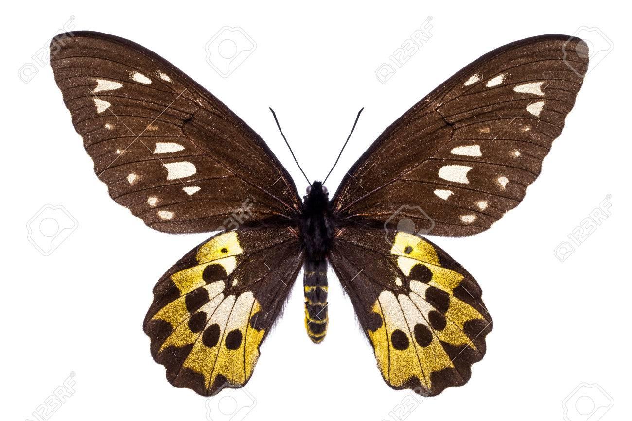 https fr 123rf com photo 55297216 beau papillon color c3 a9 avec des ailes marron et jaune isol c3 a9es sur blanc ornithoptera goliath samson ou arf html