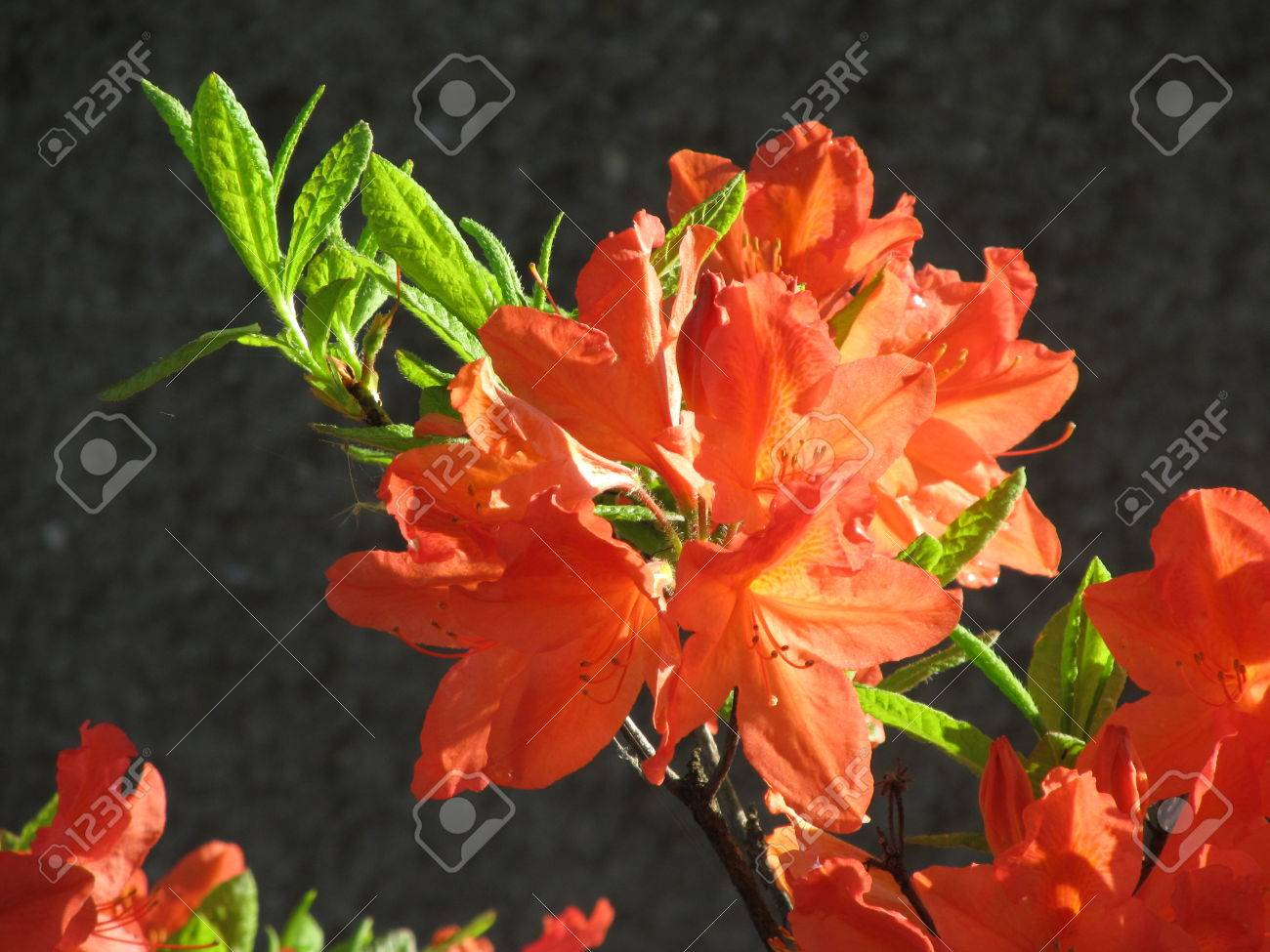 proximite photo de vives fleurs orange d hibiscus exotique