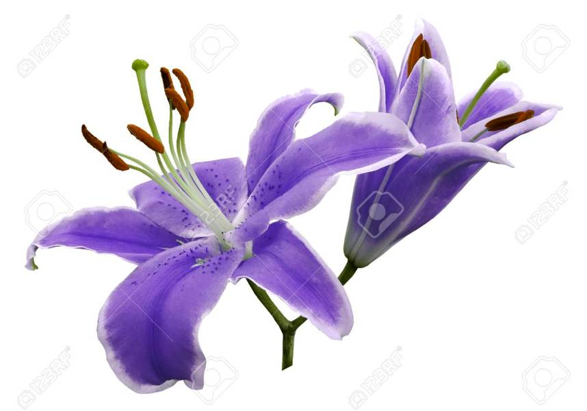 Purple Flowers Lily On White Isolated Background With Clipping     Purple flowers lily on white isolated background with clipping path no  shadows  Closeup  Nature