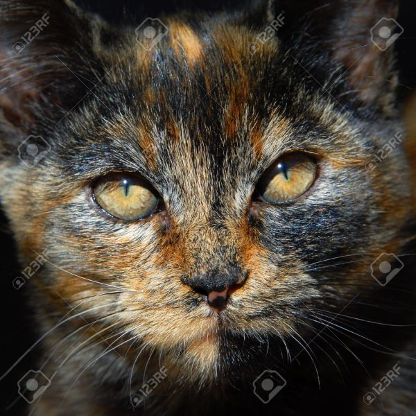 Kitten Has Unusual Coloring Of Orange  Black And Brown Closeup     Kitten has unusual coloring of orange  black and brown Closeup of cats face  shows amber