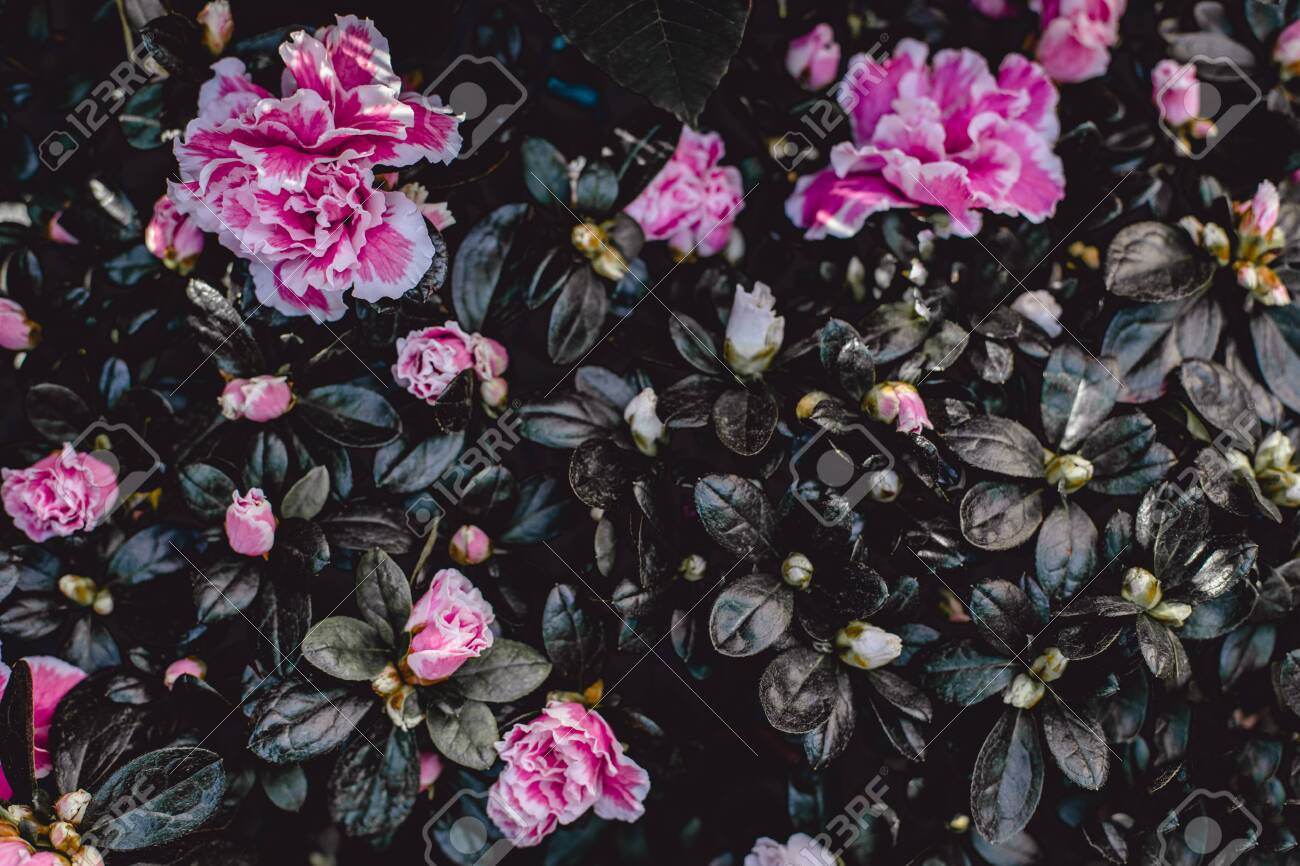 Dark Vintage Flower Background Pink Azalea Flower Wallpaper Stock Photo Picture And Royalty Free Image Image 120933467