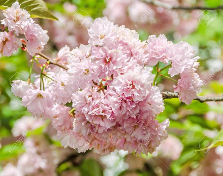 Pink Tree Flowers Of Prunus Serrulata Kanzan  Branch Flowers     Pink tree flowers of Prunus serrulata Kanzan  branch flowers  japanese  cherry  floral background