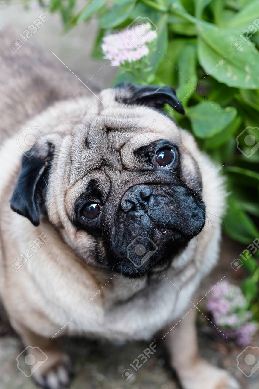 Baby Pug Dog Pug Close Up Face Of A Very Cute Pug Stock Photo Picture And Royalty Free Image Image 88781578