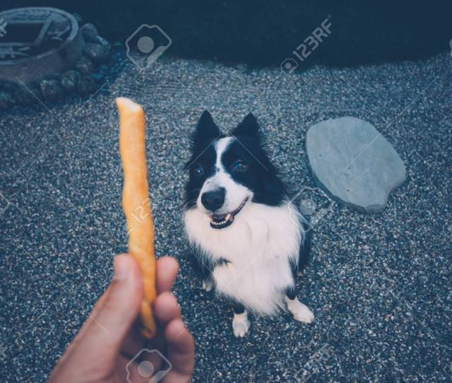 Pov Moment With Border Collie Dog Getting Some Food Stock Photo 94850167