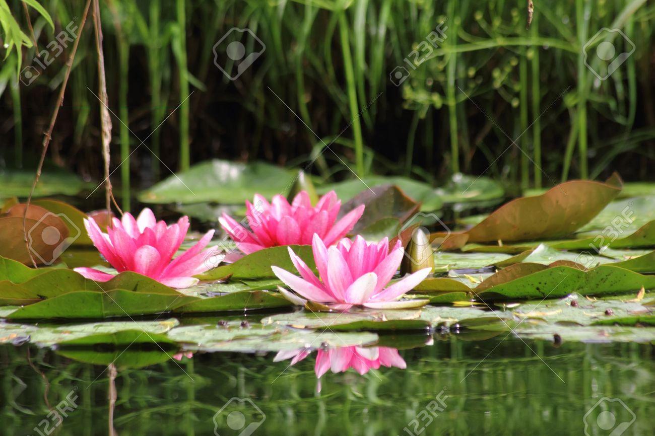 rouge nenuphar fleur d eau