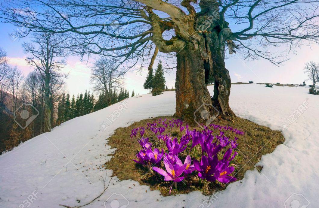 Image of spring flowers in snow walljdi saffron geyfelya first spring flowers that bloom right after mightylinksfo