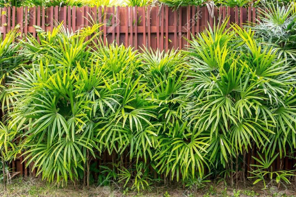 Resultado de imagem para Palma-bambú