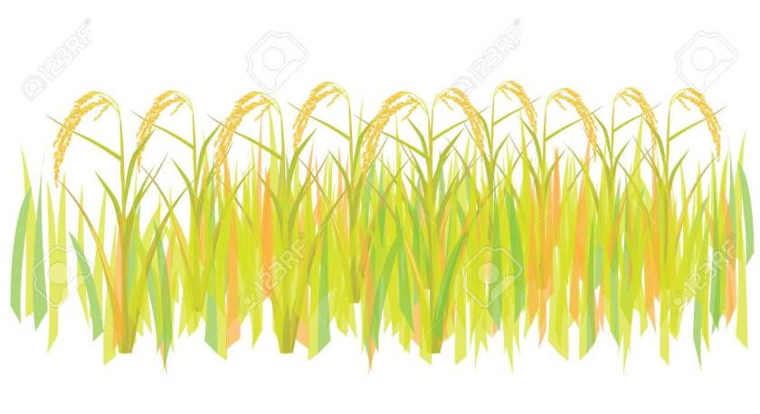 Image result for clipart rice plant