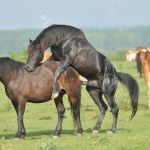 Horses Mating Stock Photo Picture And Royalty Free Image Image 10968999