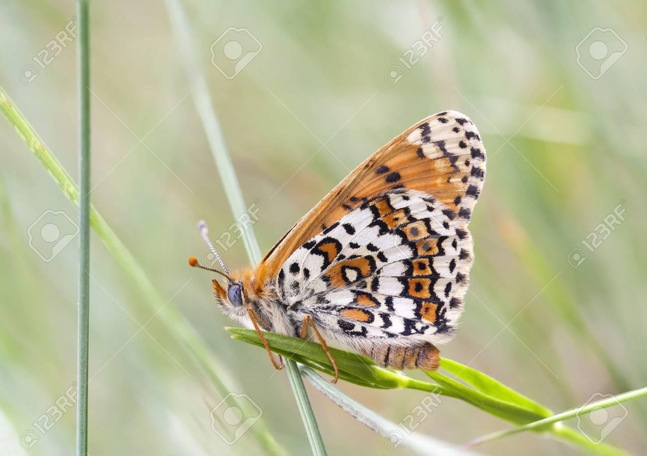 papillon panache marron et blanc sur une plante en ete