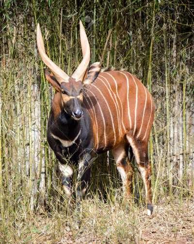Risultati immagini per antilopi bongo