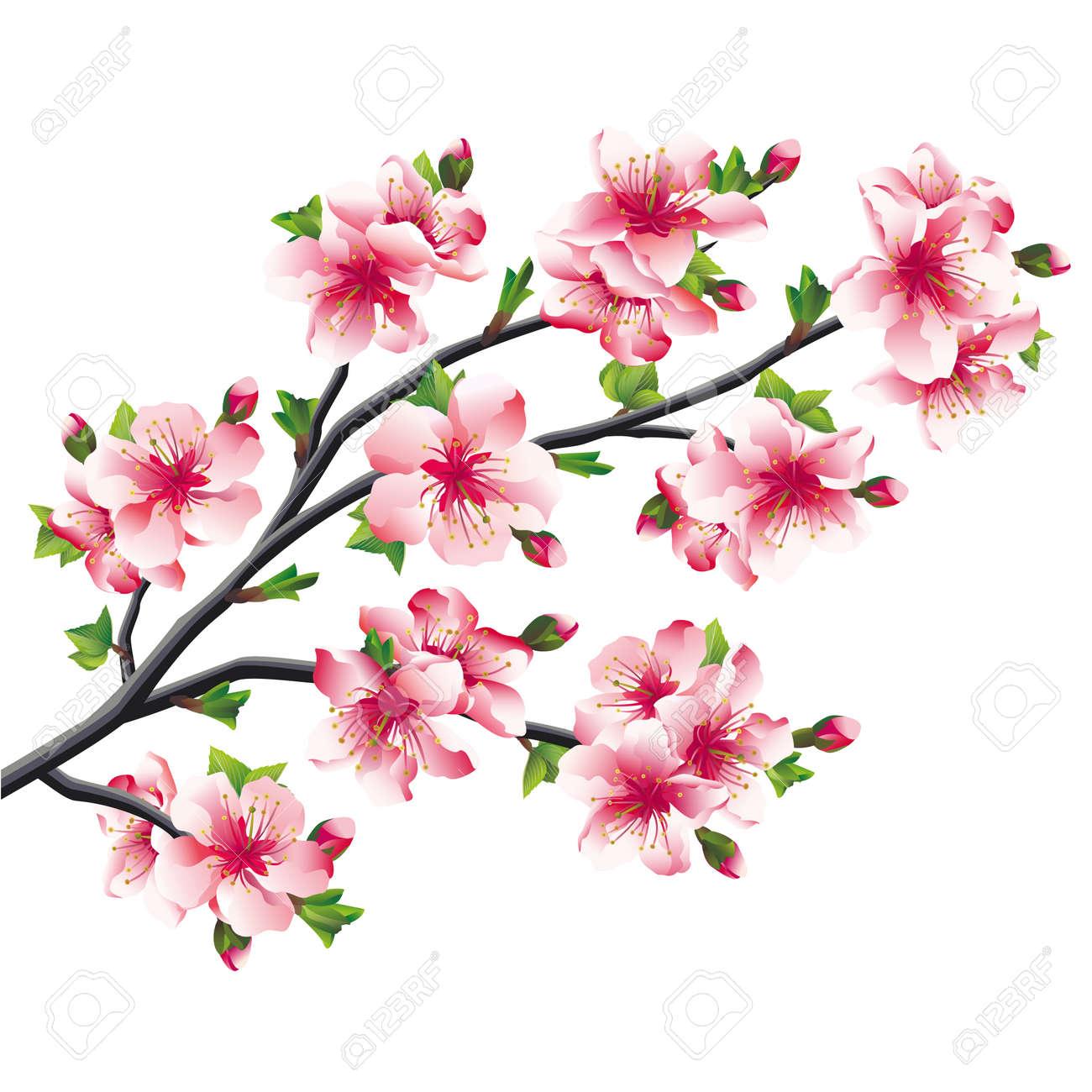 Rose Des Fleurs De Cerisier Branche Sakura Japonais D Arbre Isole Sur Fond Blanc Vector Illustration Clip Art Libres De Droits Vecteurs Et Illustration Image 26030525